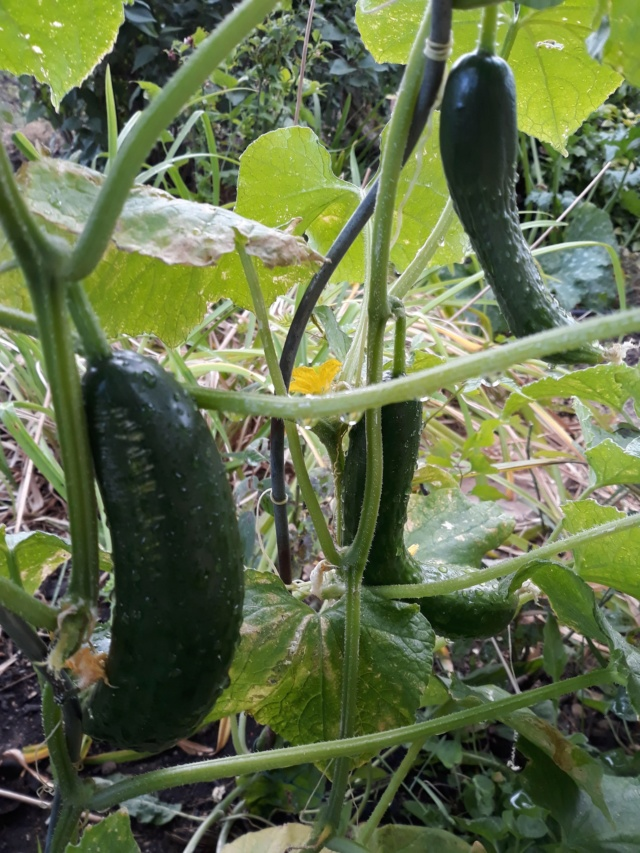 Légumes 2018  /2019 / 2020 à cazo  - Page 7 3ee76310