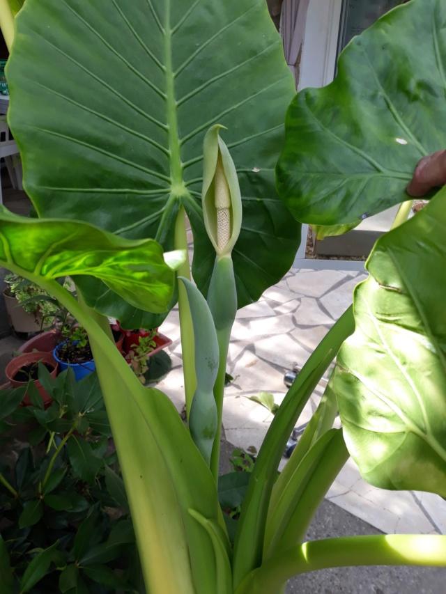 Gunnera, plante gigantesque 4a584610