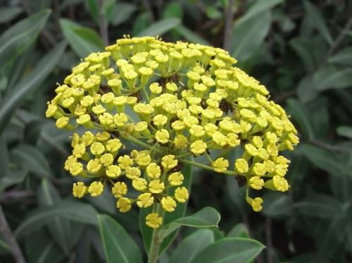 Une invasive  Bupleurum fruticosum 51ef7a10