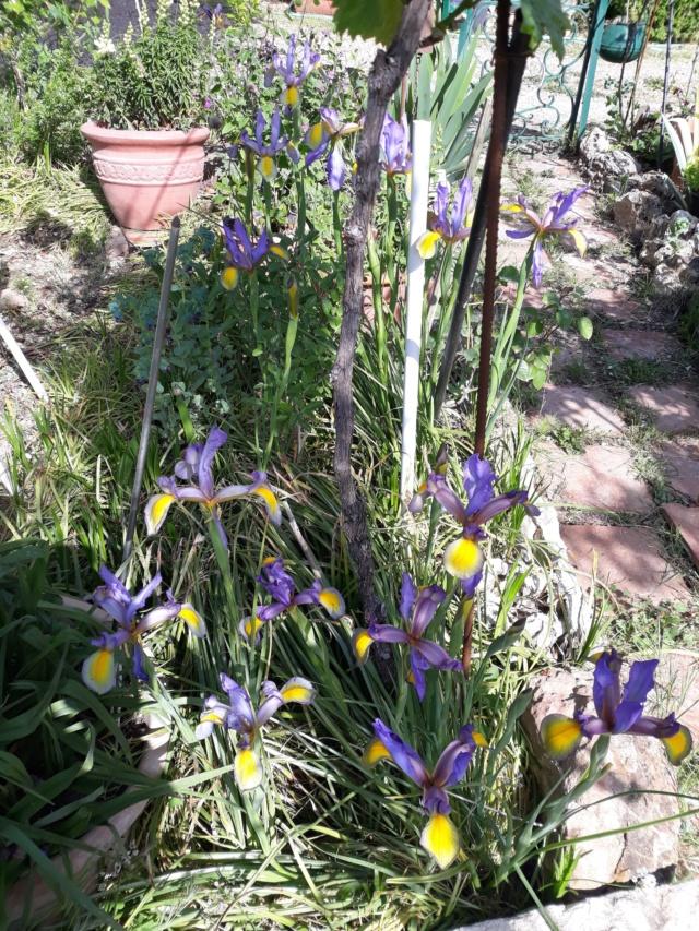 Floraison d'iris 2017 - 2018 - 2019 - Page 12 60953f10