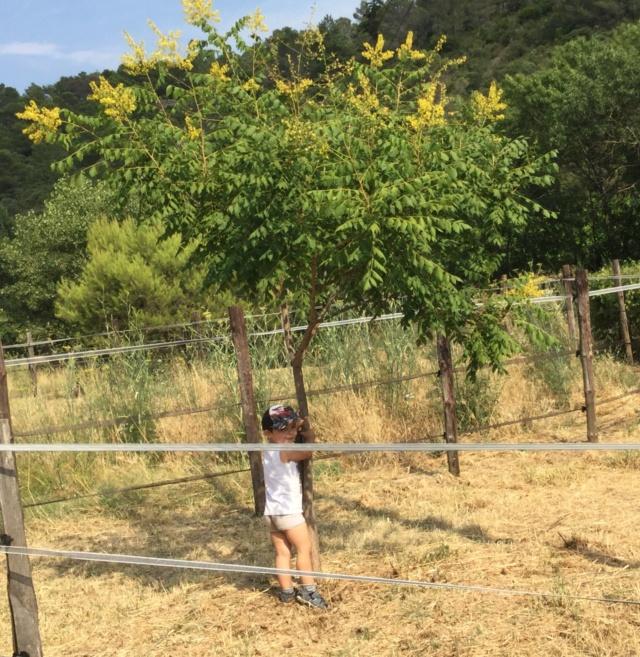 Qu el est cet arbre? Savonnier, arbre aux lanternes,  6520f010