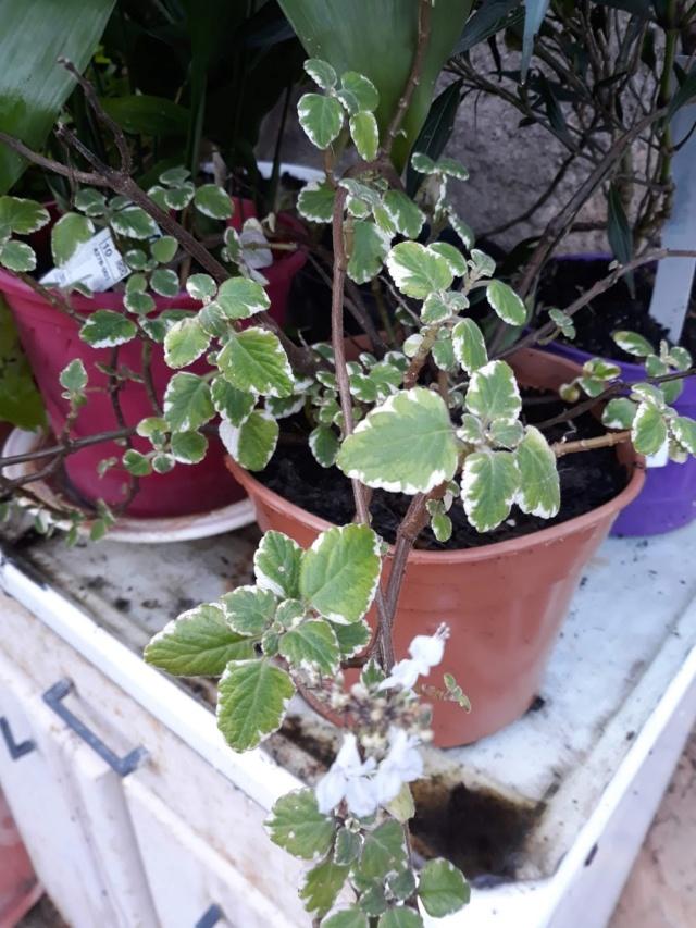 plectranthus purpuratus 6b665c10