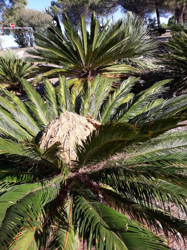 cycas - Page 4 80d43d10