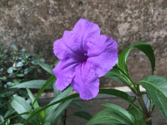 plante fleur bleue  , ruellia brittoniana 8d310e10