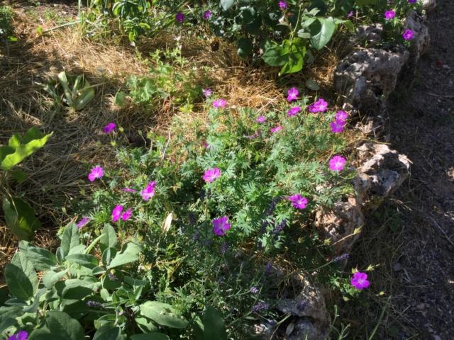 pour les amoureux des géraniums vivaces - Page 12 90887210