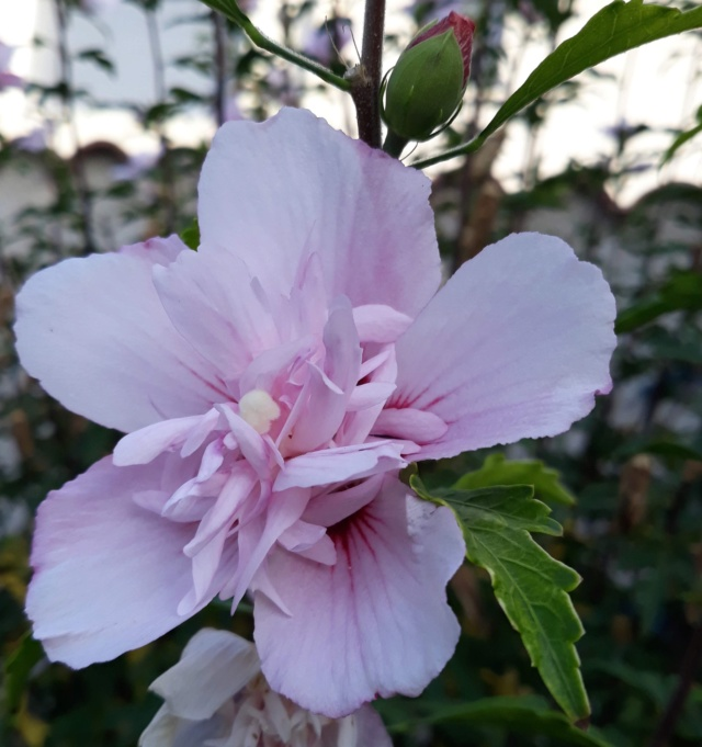Hibiscus syriacus ou althéa  - Page 4 92556010