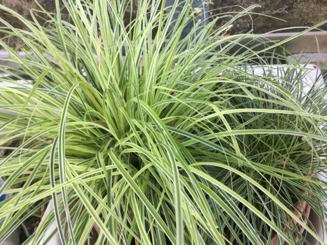 Plantes à feuillage panaché  980ac710