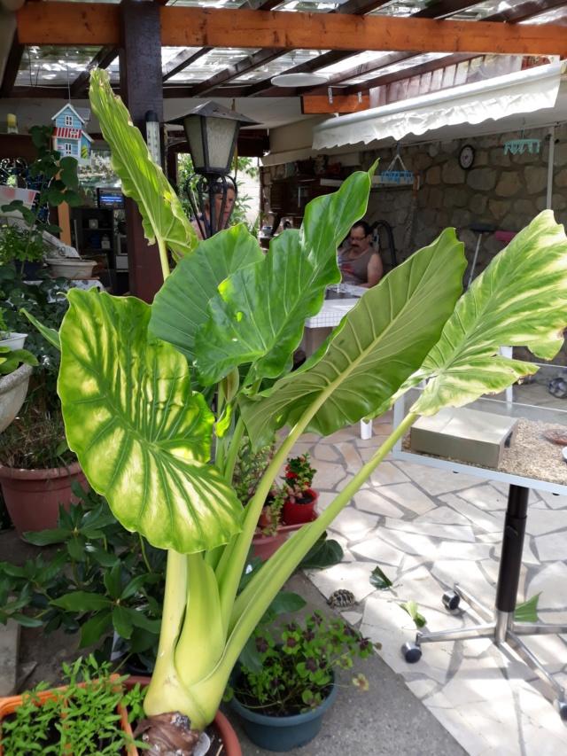 Gunnera, plante gigantesque 99199510