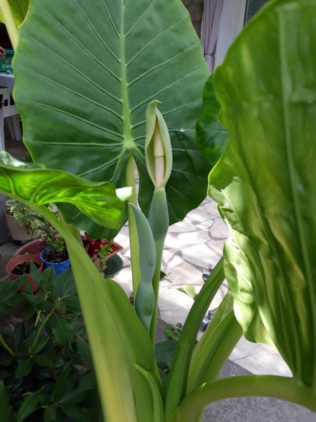 Gunnera, plante gigantesque C62b7c10