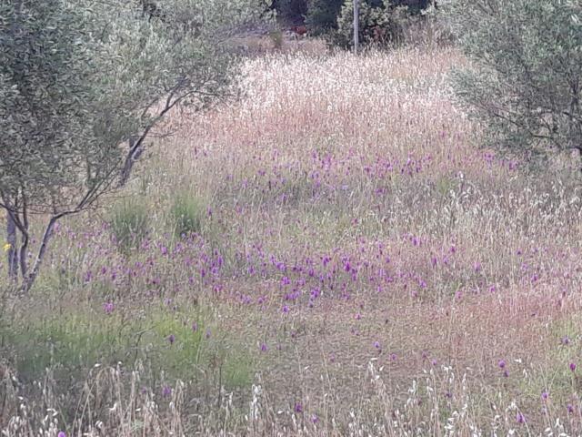 les plantes sauvages de nos campagnes - Page 14 Caf7fa10
