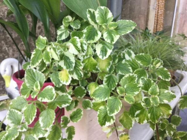 Plantes à feuillage panaché  Eaf1c210