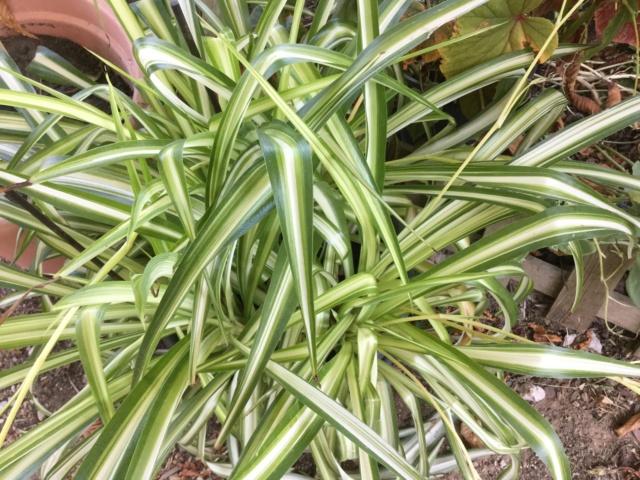 Plantes à feuillage panaché  F603d610
