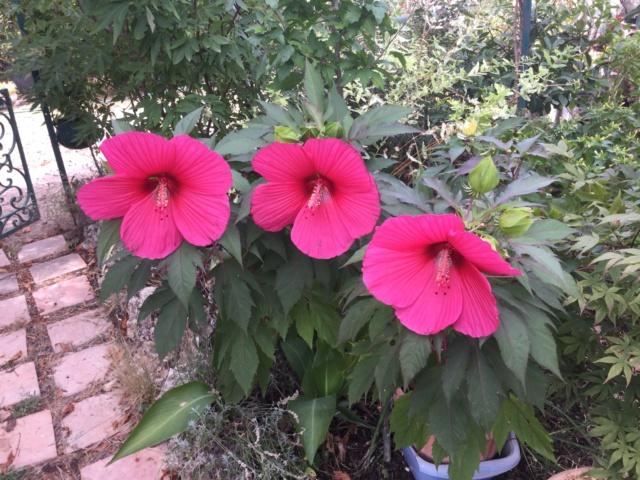 Hibiscus des marais Fb6a1a10