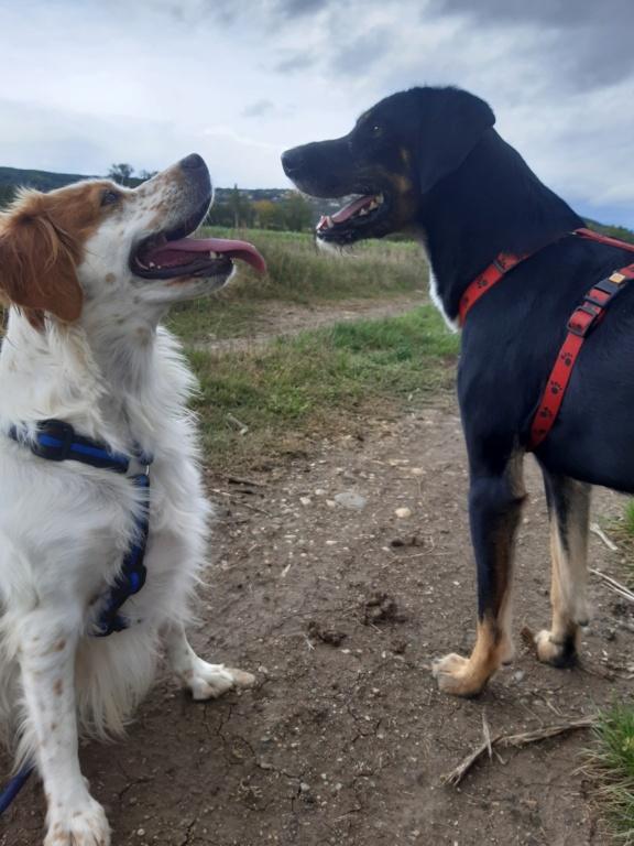 FALCO (chien croisé border) 20201014