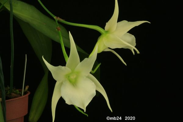 Angranthes Etoile Filante (Aeranthes neoperrieri x Angraecum magdalenae) Angran10