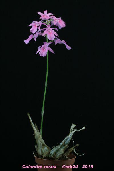 Calanthe rosea Calaan10