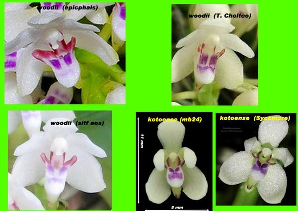 Tuberolabium woodii  c'est quoi ? Compar11