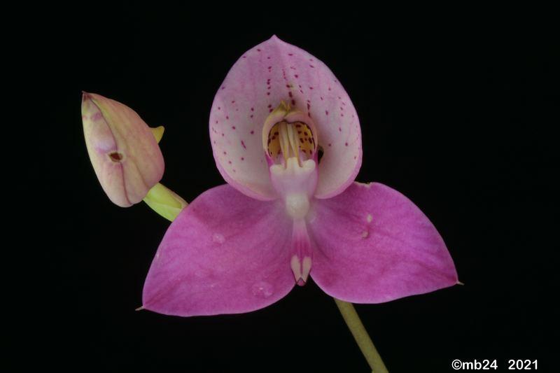 Disa Watsonii (uniflora x kewensis) Disa_w13