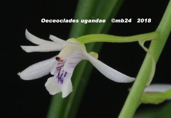 Oeceoclades ugandae Oeceoc13