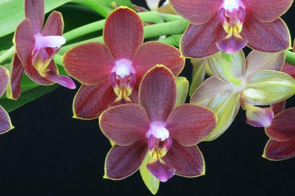 [résolu]Phalaenopsis hybride = Thing Shin Phoenix Phalae16
