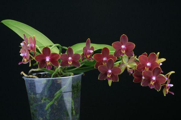[résolu]Phalaenopsis hybride = Thing Shin Phoenix Phalae17