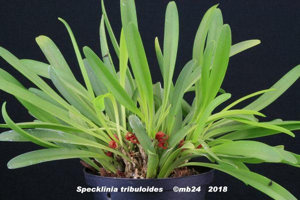 Specklinia tribuloides  Speckl10