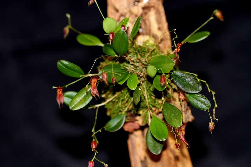 Miniatur-Orchideen Teil 4 - Seite 24 Img_2219
