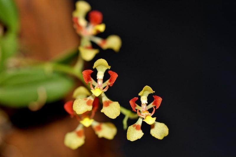 Miniatur-Orchideen Teil 4 - Seite 24 Img_2221