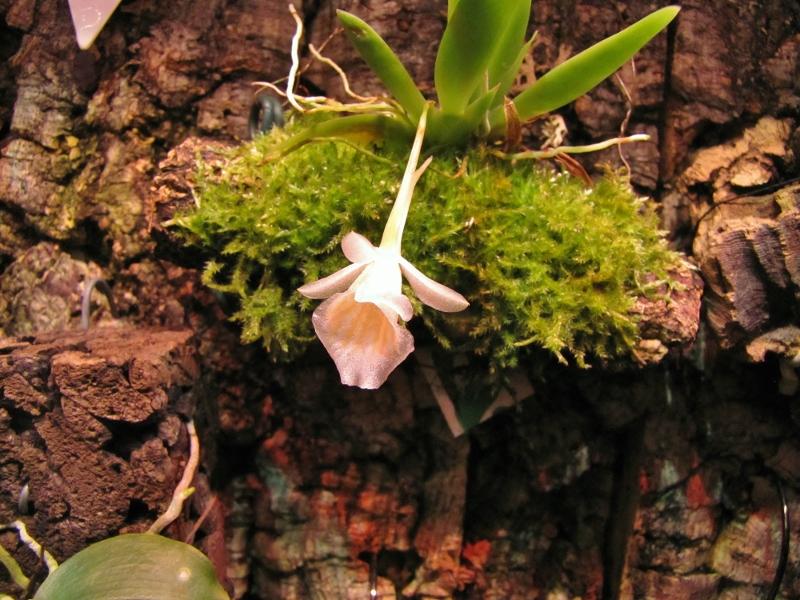 Miniatur-Orchideen Teil 4 - Seite 25 Img_2418