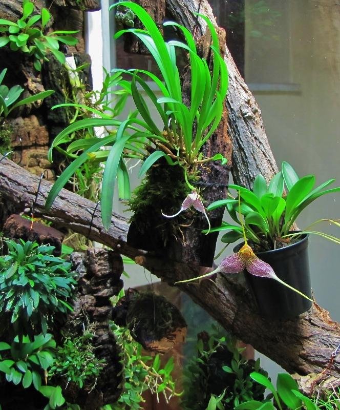 Miniatur-Orchideen Teil 4 - Seite 26 Img_2424