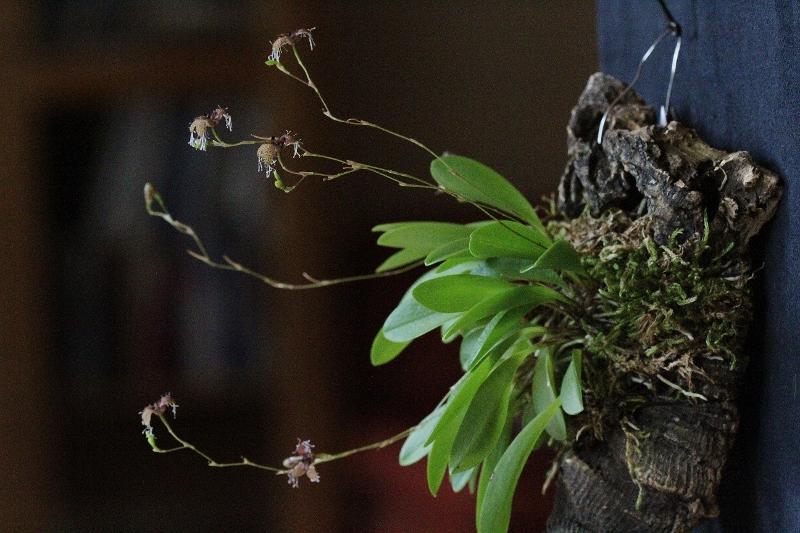 Miniatur-Orchideen Teil 6 - Seite 17 Img_2811