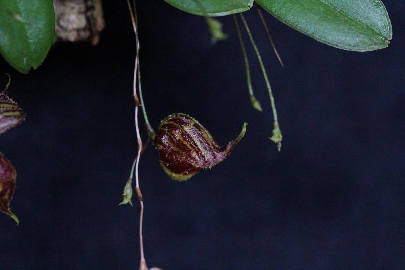 Lepanthes martinae Img_2814