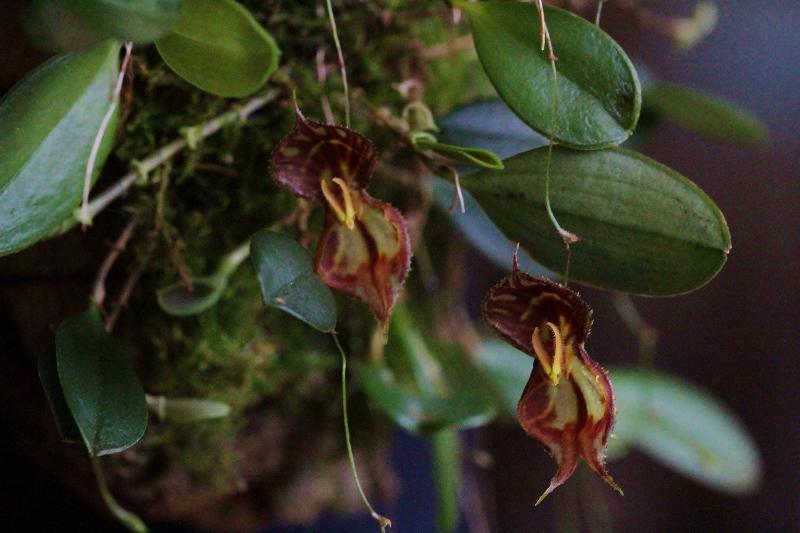 Lepanthes martinae Img_2815