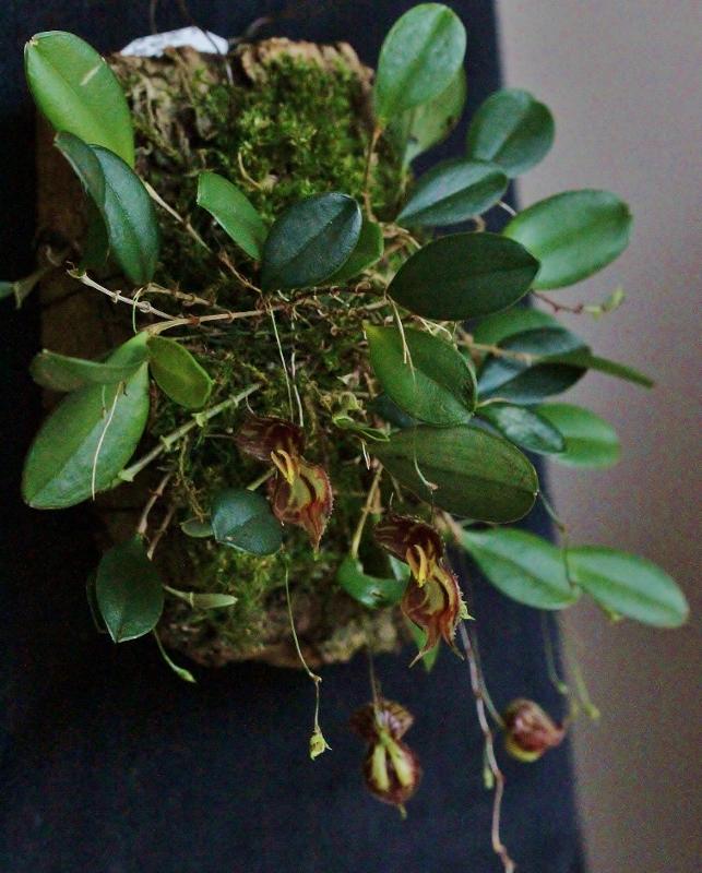 Lepanthes martinae Img_2816