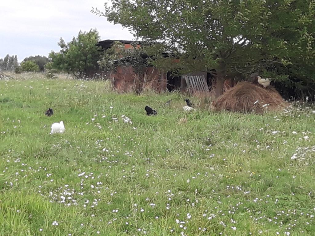 les poules  et le blé 20180845