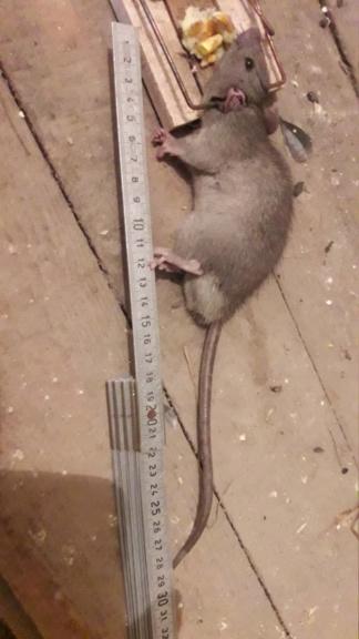 Attaque de rats Img-2015