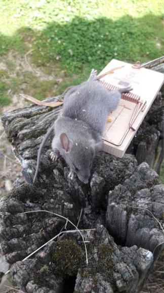 Attaque de rats Img-2034