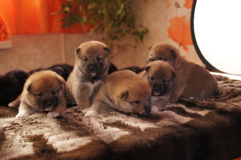 Рыжие щенки от пары RUNNER STAR RYUICHIRO & JUTUSH JASAMAN MIKO S VOSTOCHNOGO VETRA. Дата рождения 14.10.2019. Dsc09510