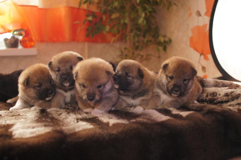 Рыжие щенки от пары RUNNER STAR RYUICHIRO & JUTUSH JASAMAN MIKO S VOSTOCHNOGO VETRA. Дата рождения 14.10.2019. Dsc09511