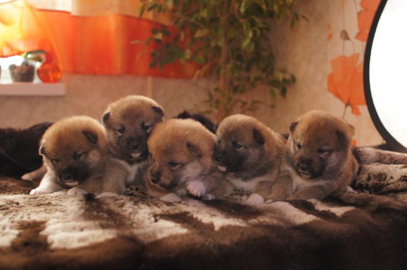 Рыжие щенки от пары RUNNER STAR RYUICHIRO & JUTUSH JASAMAN MIKO S VOSTOCHNOGO VETRA. Дата рождения 14.10.2019. Dsc09512