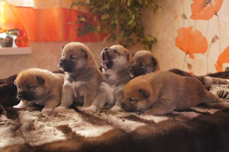 Рыжие щенки от пары RUNNER STAR RYUICHIRO & JUTUSH JASAMAN MIKO S VOSTOCHNOGO VETRA. Дата рождения 14.10.2019. Dsc09611