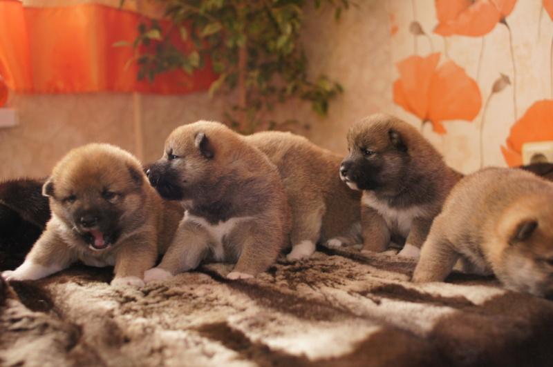 Рыжие щенки от пары RUNNER STAR RYUICHIRO & JUTUSH JASAMAN MIKO S VOSTOCHNOGO VETRA. Дата рождения 14.10.2019. Dsc09614