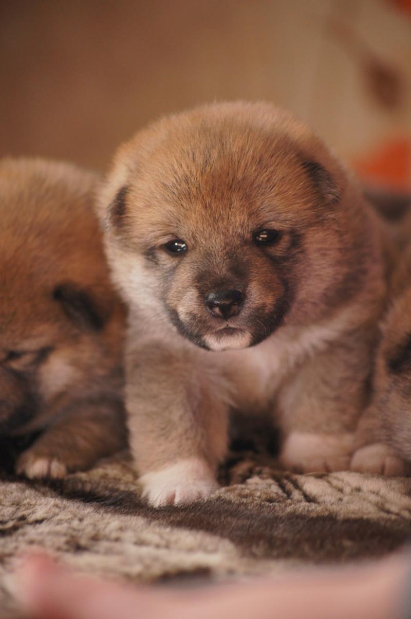 Рыжие щенки от пары RUNNER STAR RYUICHIRO & JUTUSH JASAMAN MIKO S VOSTOCHNOGO VETRA. Дата рождения 14.10.2019. Dsc09715