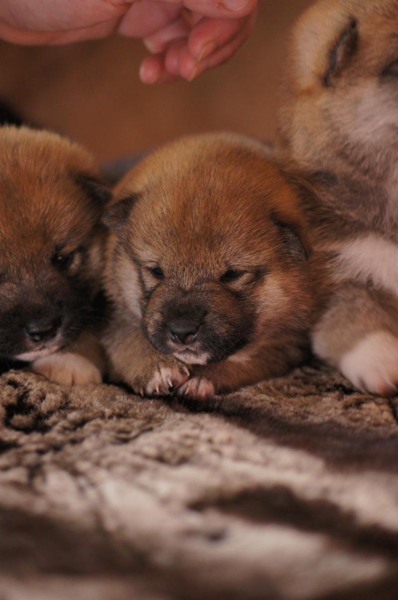 Рыжие щенки от пары RUNNER STAR RYUICHIRO & JUTUSH JASAMAN MIKO S VOSTOCHNOGO VETRA. Дата рождения 14.10.2019. Dsc09723