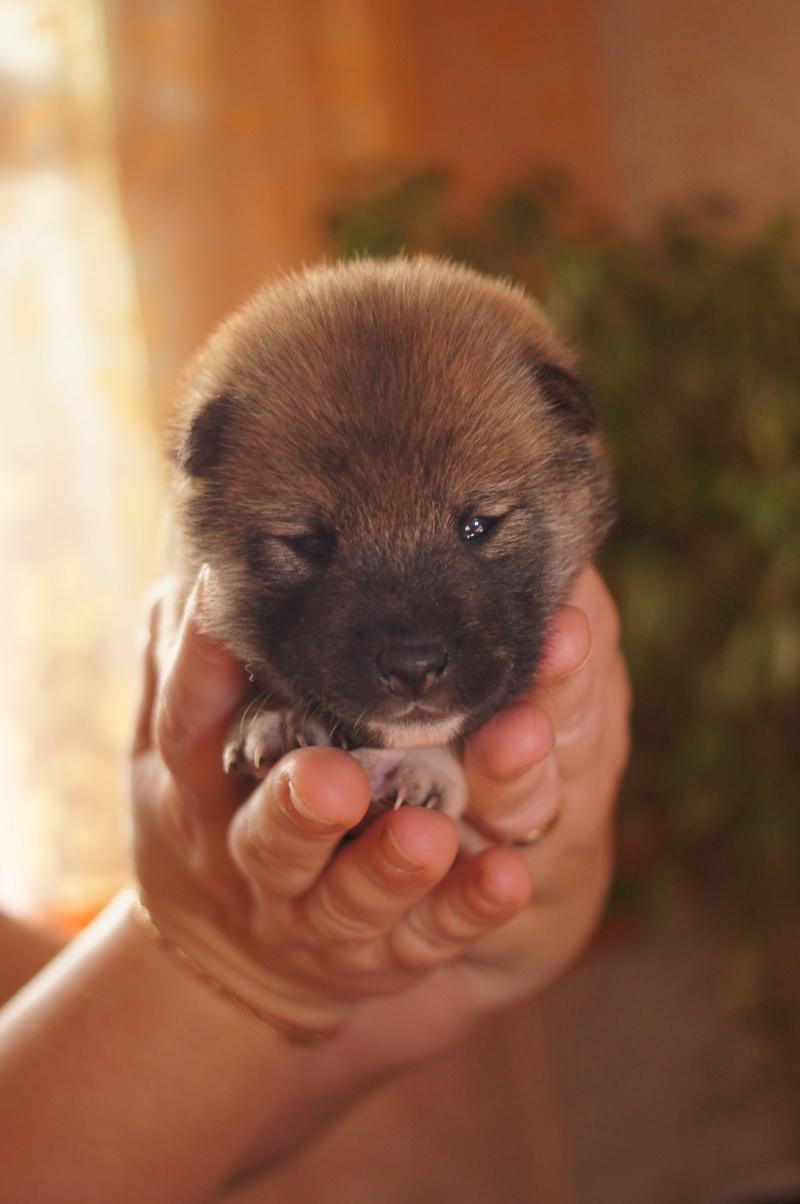 Рыжие щенки от пары RUNNER STAR RYUICHIRO & JUTUSH JASAMAN MIKO S VOSTOCHNOGO VETRA. Дата рождения 14.10.2019. Dsc09728