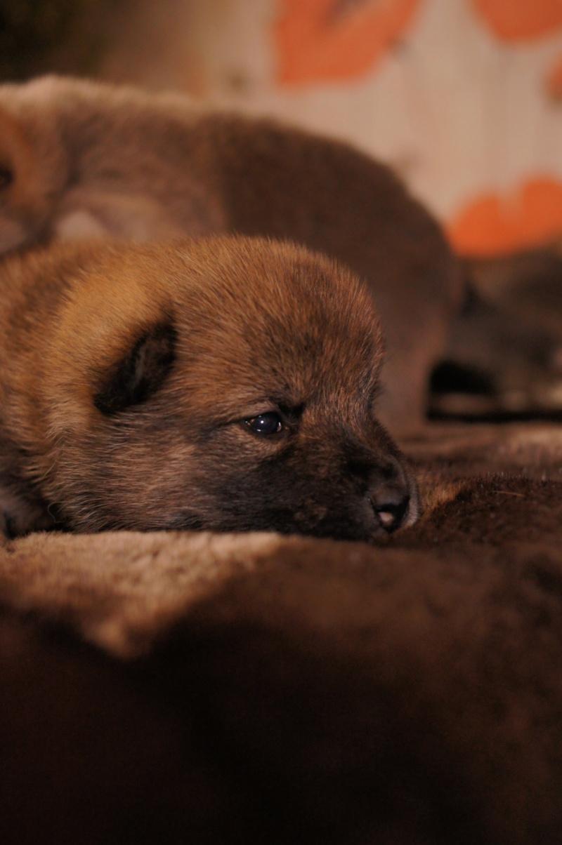 Рыжие щенки от пары RUNNER STAR RYUICHIRO & JUTUSH JASAMAN MIKO S VOSTOCHNOGO VETRA. Дата рождения 14.10.2019. Dsc09729