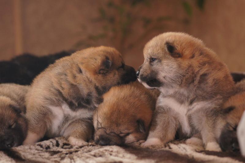 Рыжие щенки от пары RUNNER STAR RYUICHIRO & JUTUSH JASAMAN MIKO S VOSTOCHNOGO VETRA. Дата рождения 14.10.2019. Dsc09811
