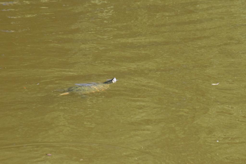 Présence de tortues dans un petit étang de Belgique Dsc_1311