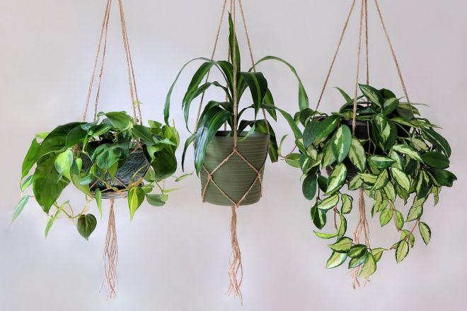 13 piante ricadenti da interno Piante10