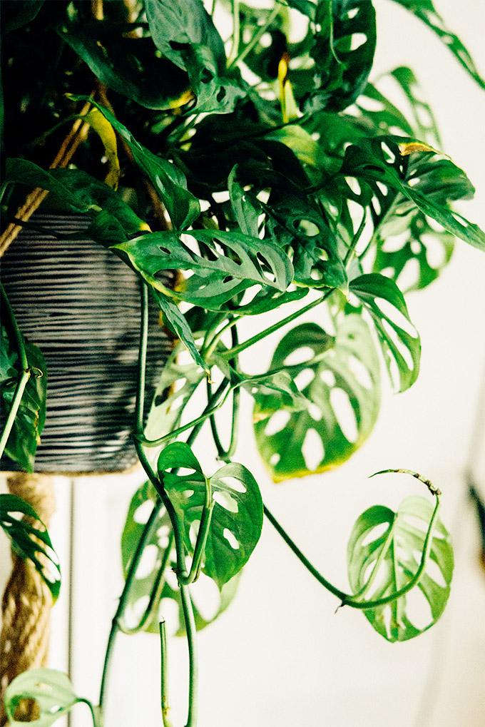 13 piante ricadenti da interno Piante11